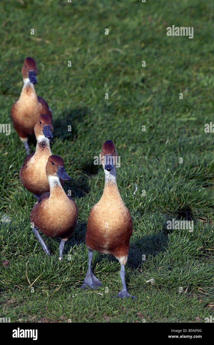 Plumed or Eyton s Whistling Duck - Stock Image