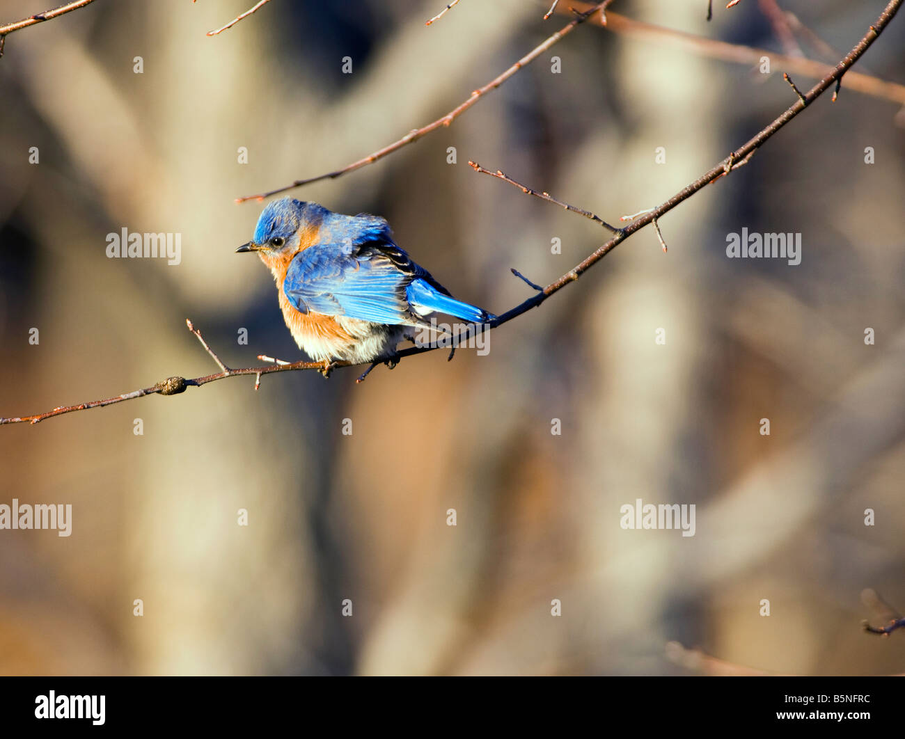 The Eastern Bluebird Sialia sialis is a medium sized thrush found in open woodlands farmlands and orchards. - Stock Image