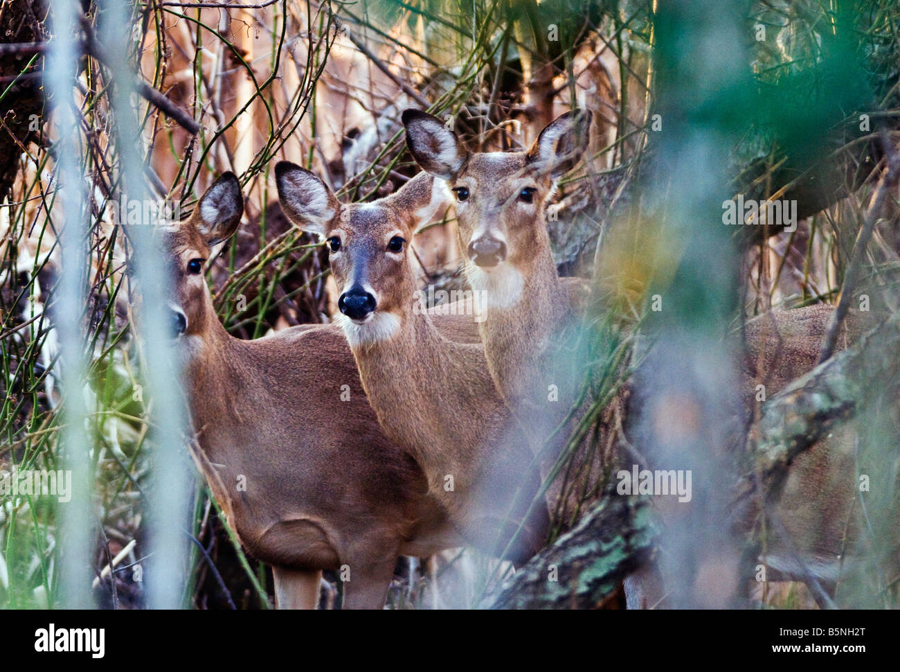 White tailed deer, Odocoileus virginianus, in the woods, on the shore of the Chesapeake Bay, Annapolis, Maryland. - Stock Image