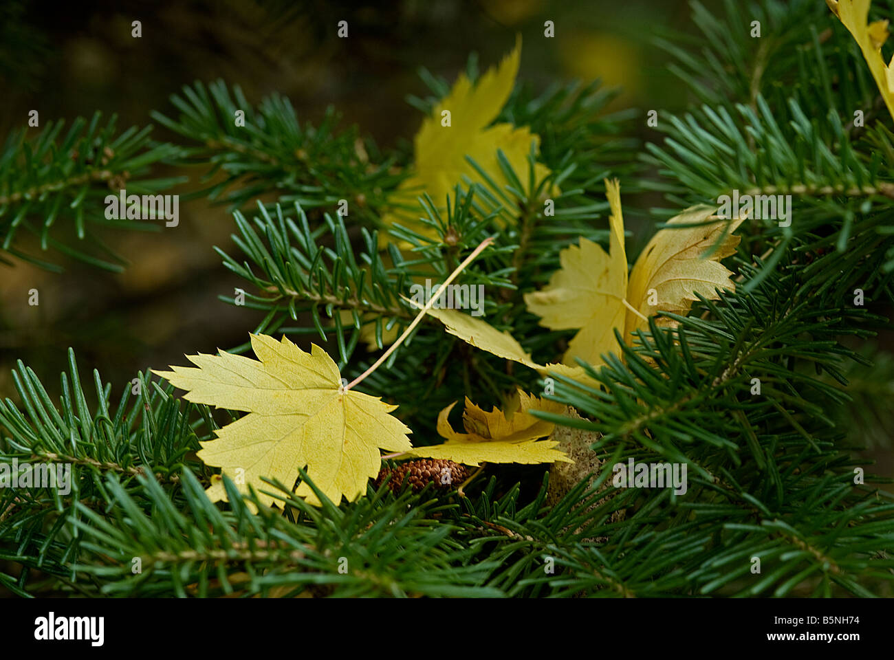 yellow maple leaves have fallen off the tree and landed on a bed of short-needled pine branch - Stock Image