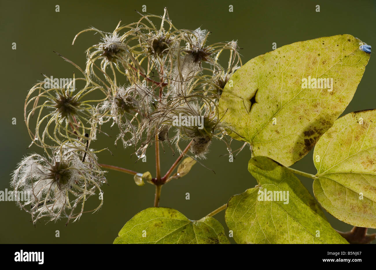 Wild Clematis or Old Man's Beard Clematis vitalba in autumn showing fruit and leaves Dorset - Stock Image