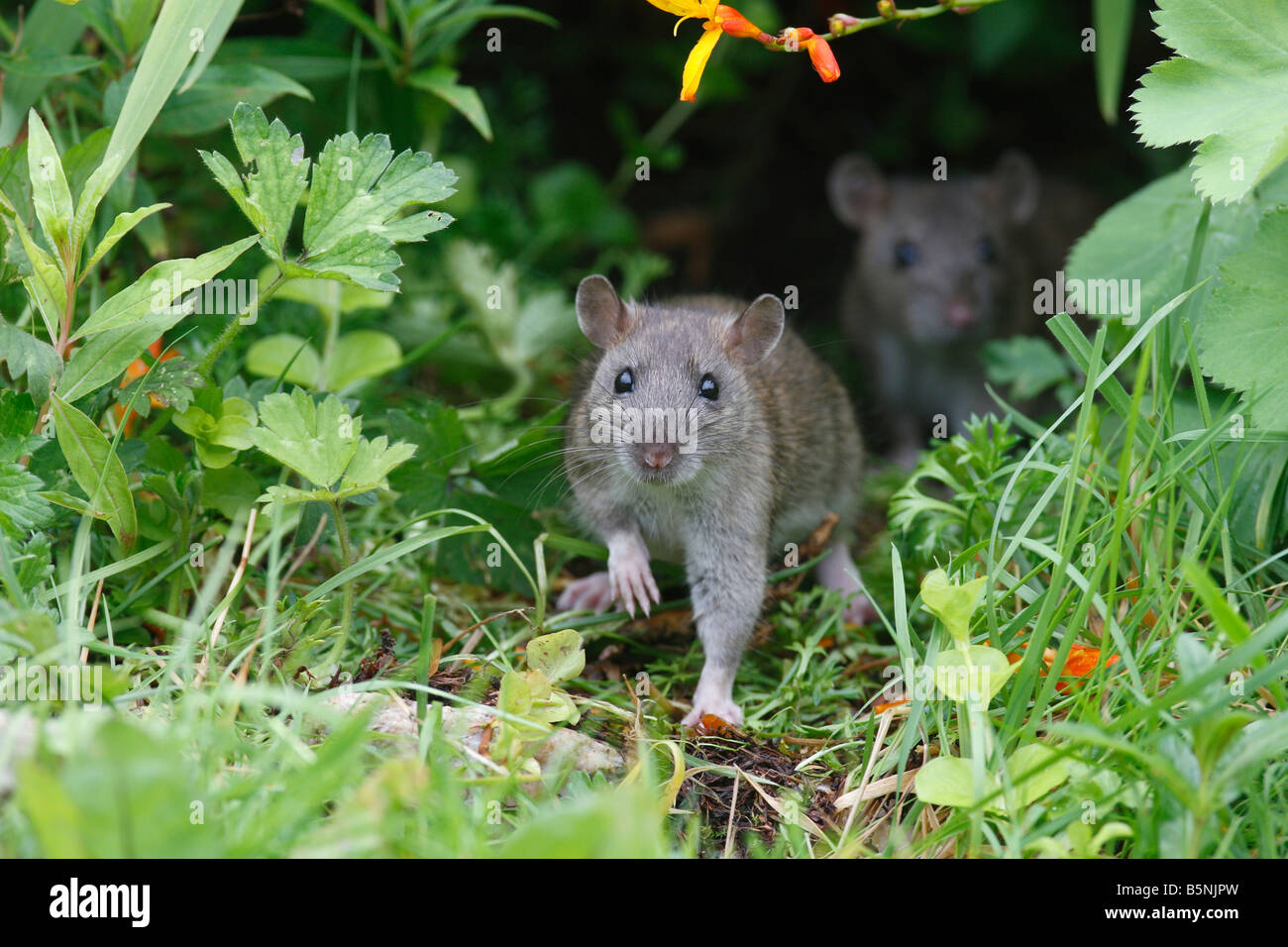 BROWN RAT Rattus norvegicus YOUNGSTERS COMING OUT OF FLOWER BORDER FRONT VIEW - Stock Image