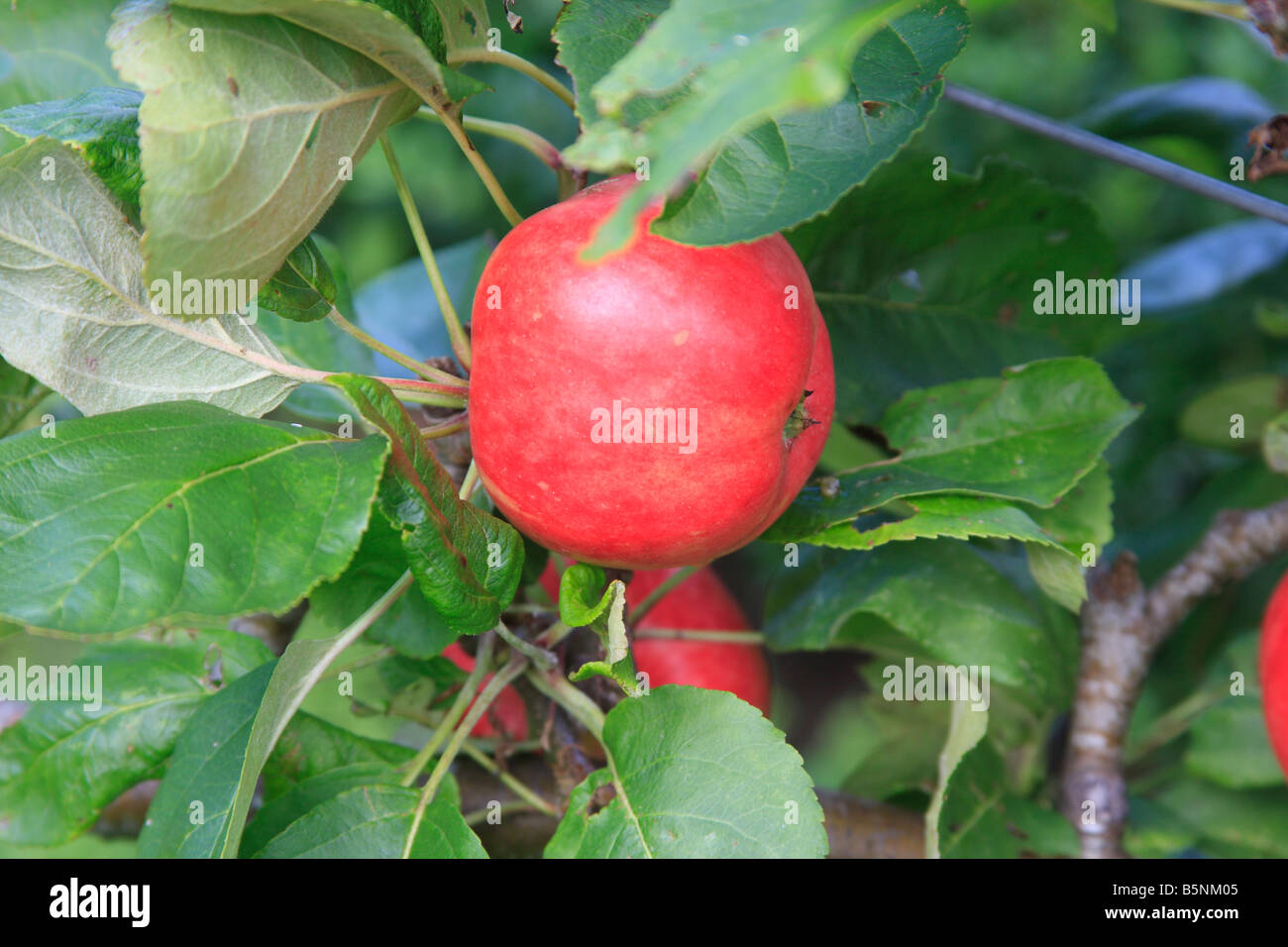 APPLE RED MILLER CLOSE UP OF FRUIT ON TREE - Stock Image