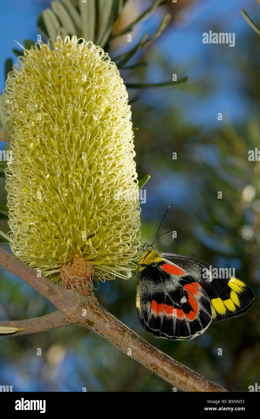 Australian Imperial jezebel butterfly on banksia flower - Stock Image