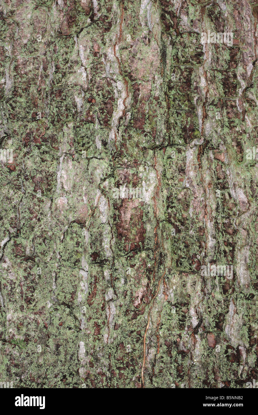 OAK Quercus robur CLOSE UP OF BARK ON MATURE TREE - Stock Image