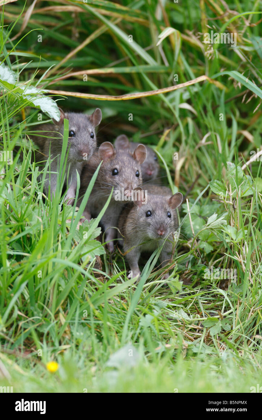 BROWN RAT Rattus norvegicus YOUNGSTERS LOOKING OUT FROM FLOWER BORDER FRONT VIEW - Stock Image