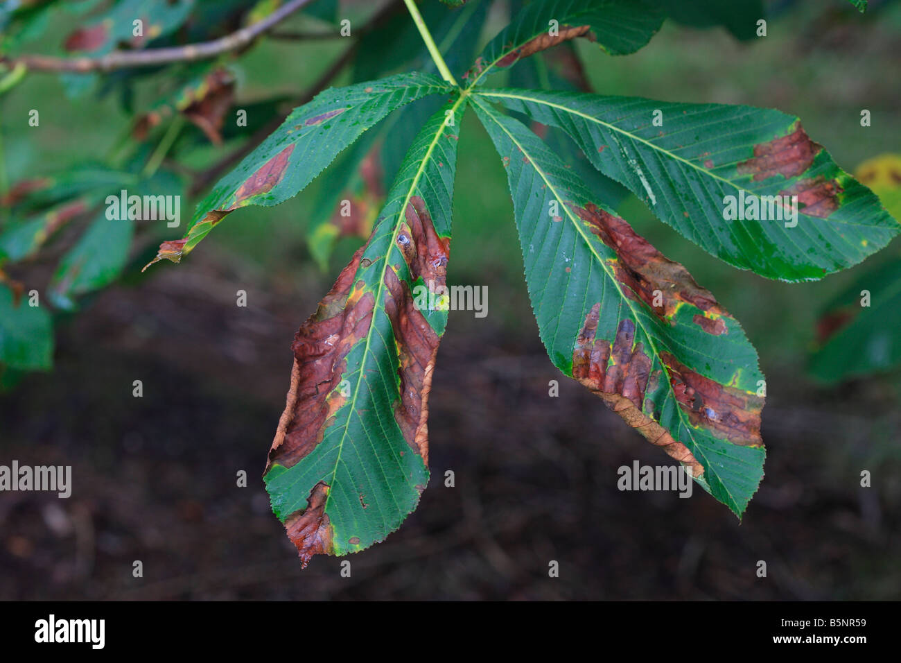HORSE CHESTNUT LEAF BLOTCH Guignardia aesculi ON LEAVES - Stock Image