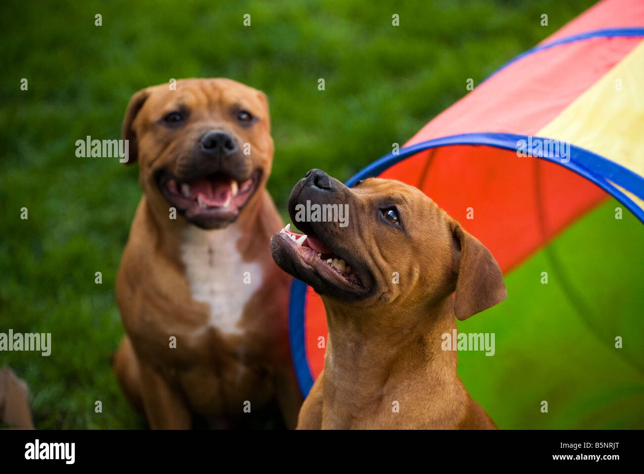 Two young Staffordshire Bull terriers in the garden - Stock Image