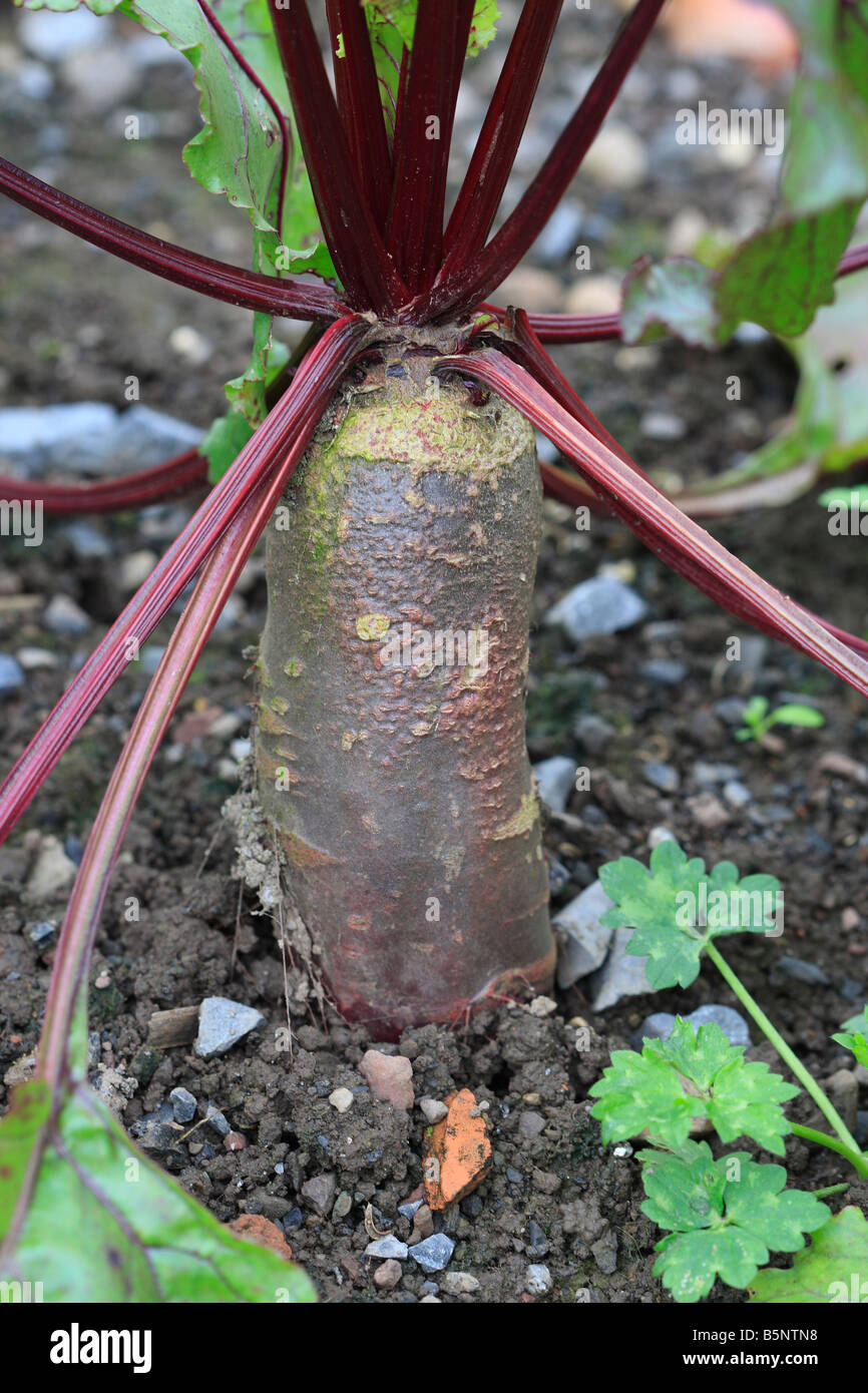 BEETROOT CYLINDRA CLOSE UP OF DEVELOPING ROOTS - Stock Image