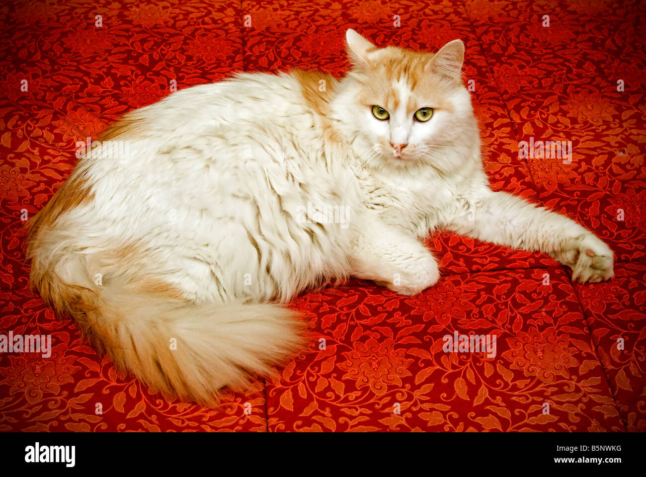 White cat on red tissue - Stock Image