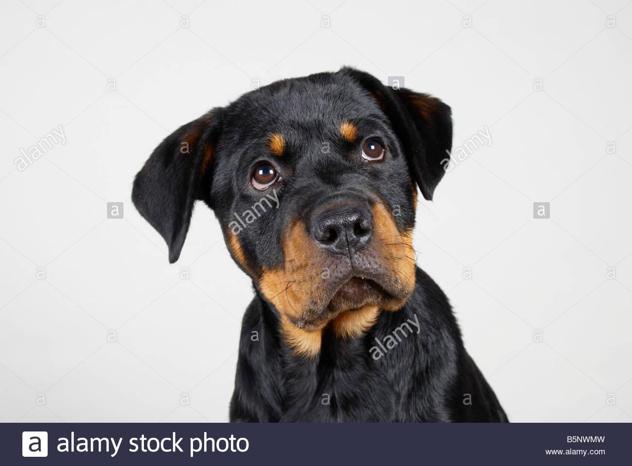 Rottweiler Ears Stock Photos & Rottweiler Ears Stock Images