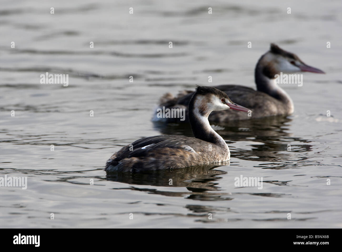 Pair great crested grebes swimming - Stock Image