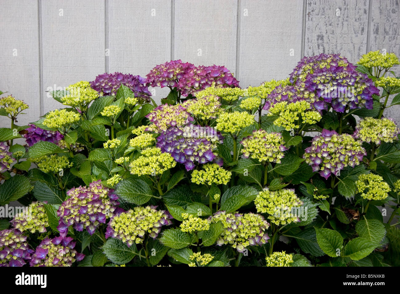 Hydrangea bush growing against white wall - Stock Image