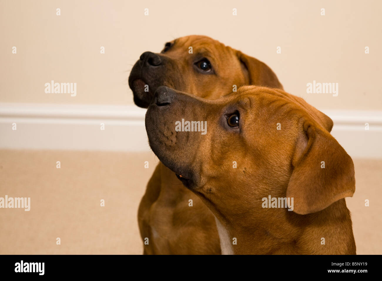 Brother and Sister Staffordshire bull Terrier puppies look up expectantly. - Stock Image