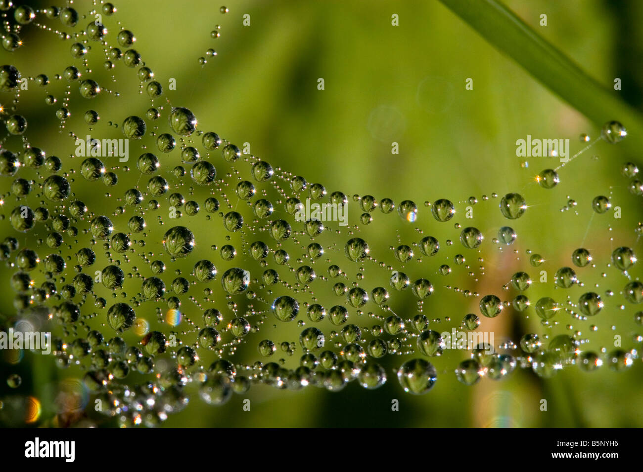 Spiderweb dewdrops large drops of dew. - Stock Image