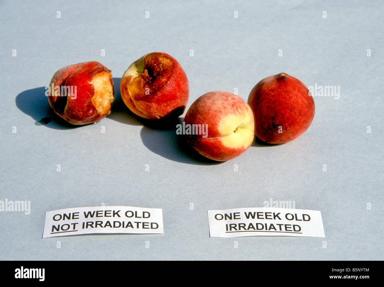 Peaches, some irradiated, some not showing rot after two weeks - Stock Image