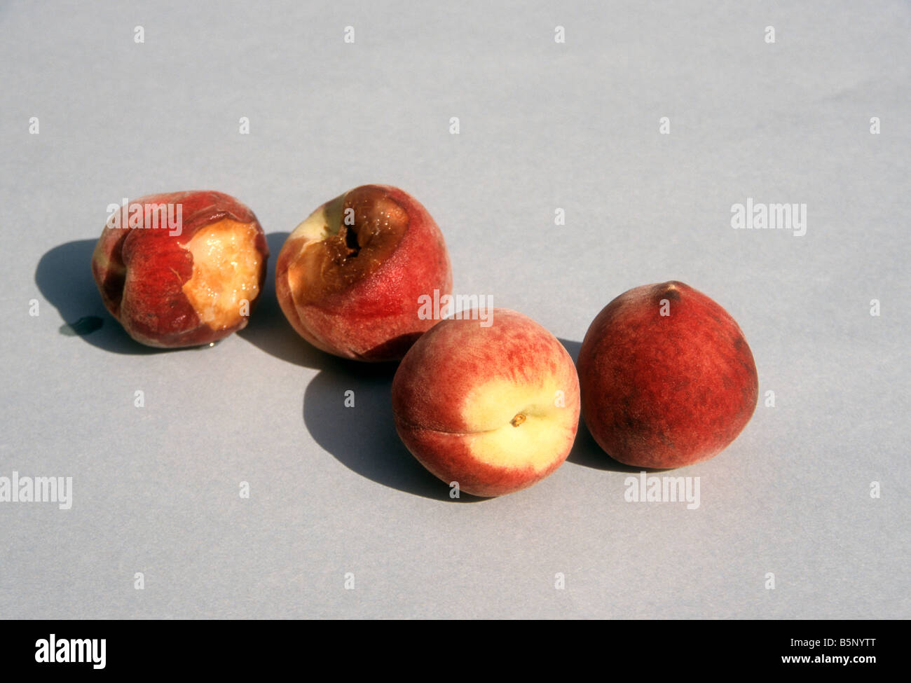 Peachs, some irradiated, some not showing rot after two weeks. - Stock Image