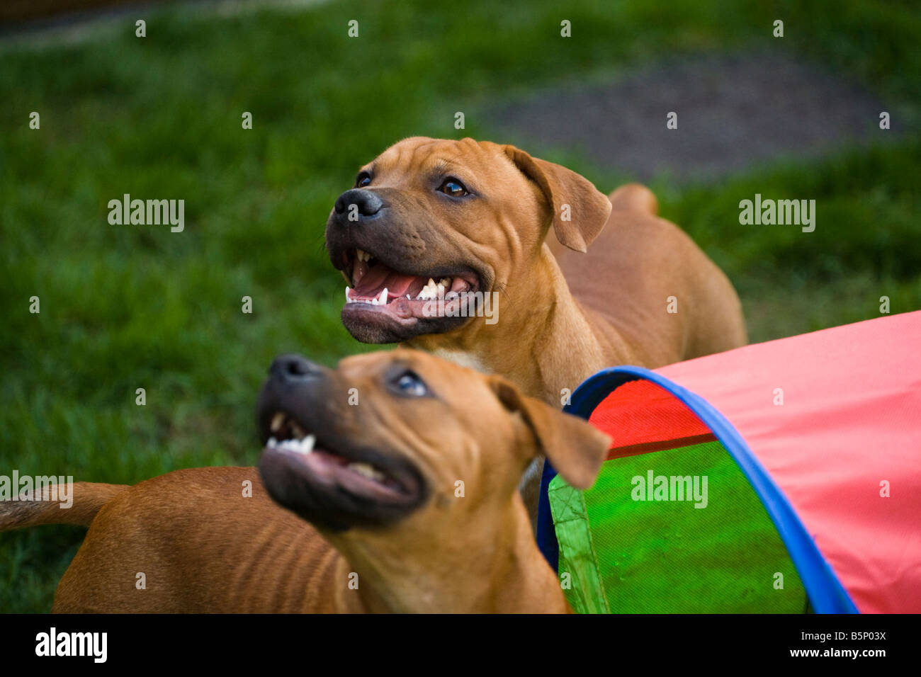 Two Staffies being distracted by their owner - Stock Image
