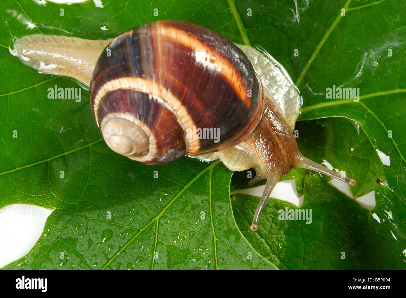 Grape snail on a sheet of a grapes in drops of a rain Stock Photo