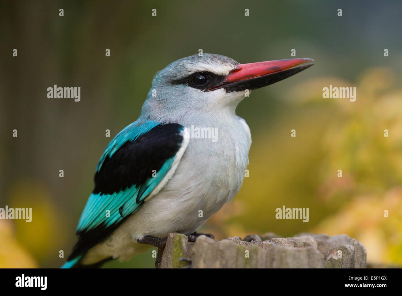 woodland kingfisher bird Uganda africa - Stock Image