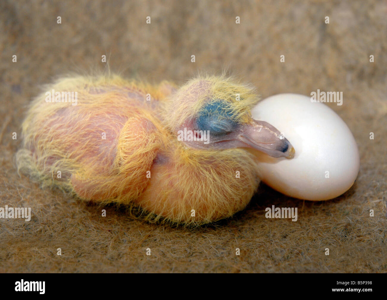 Chick, 'dove chick', 'pigeon chick' squab and egg - Stock Image