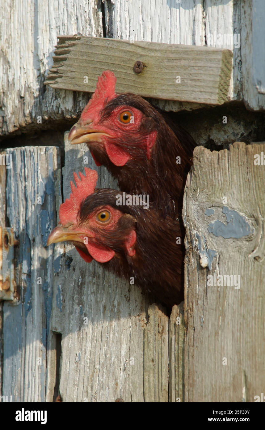 Two Rhode Island Red hens stick their heads out through a slot in the door of the chicken coop - Stock Image