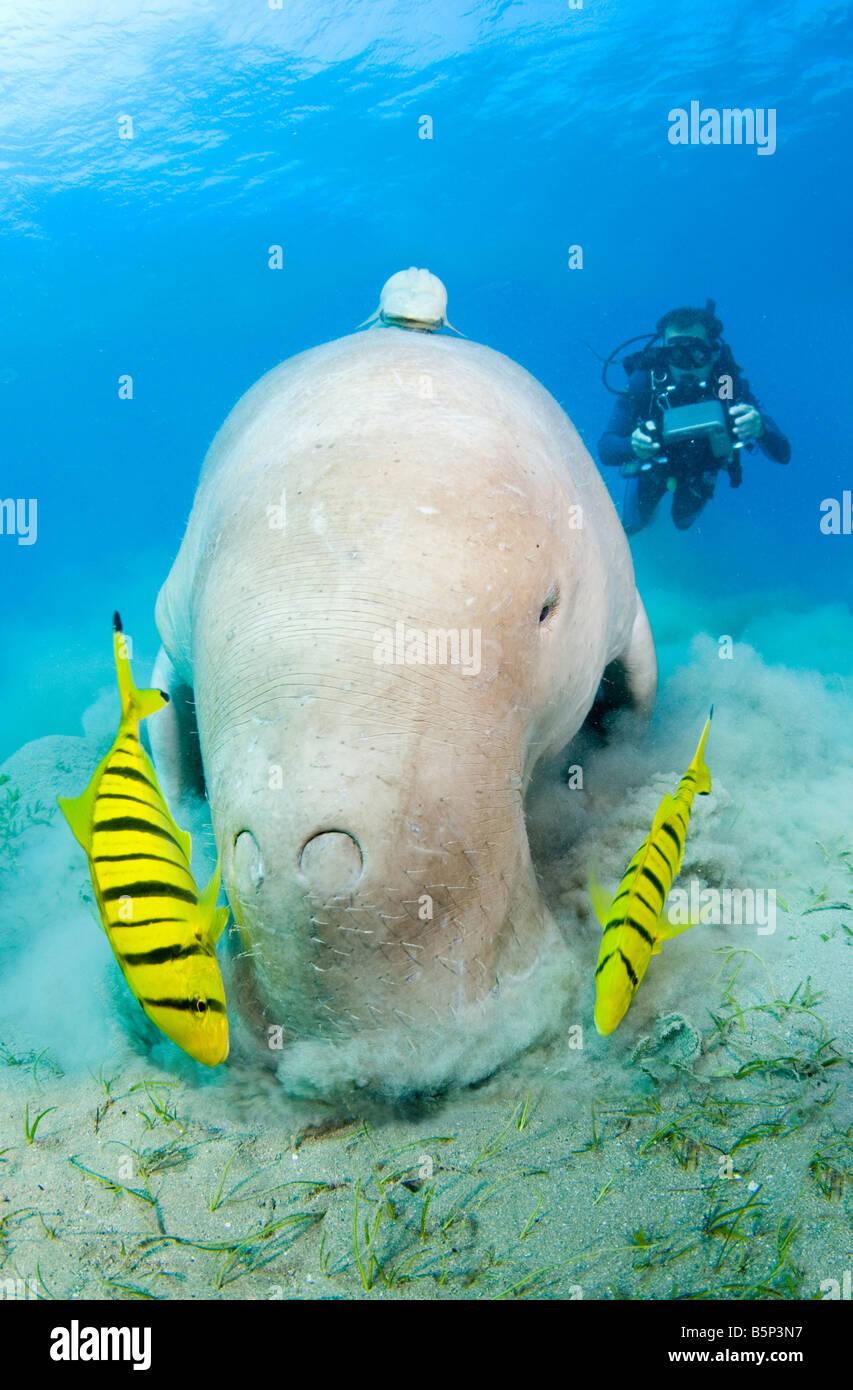 Dugong Sea Cow feeding on the sea grass Gnathanodon Speciosus scuba diver Egypt Red Sea Indian Ocean - Stock Image