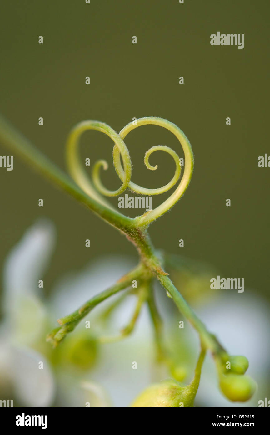 Plant tendrils in the shape of a heart. India - Stock Image