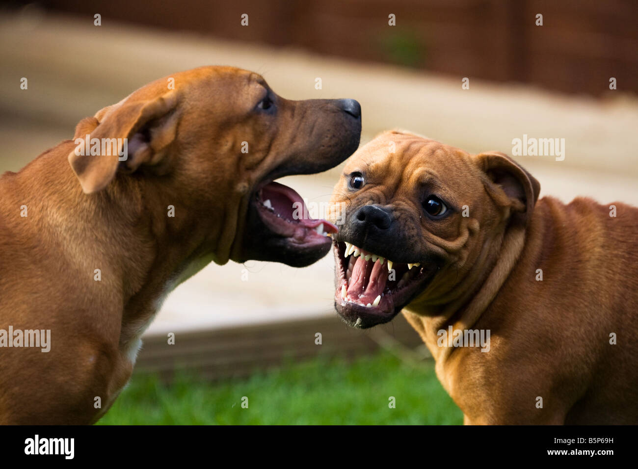 Brother and Sister Staffy puppies play fighting Stock Photo