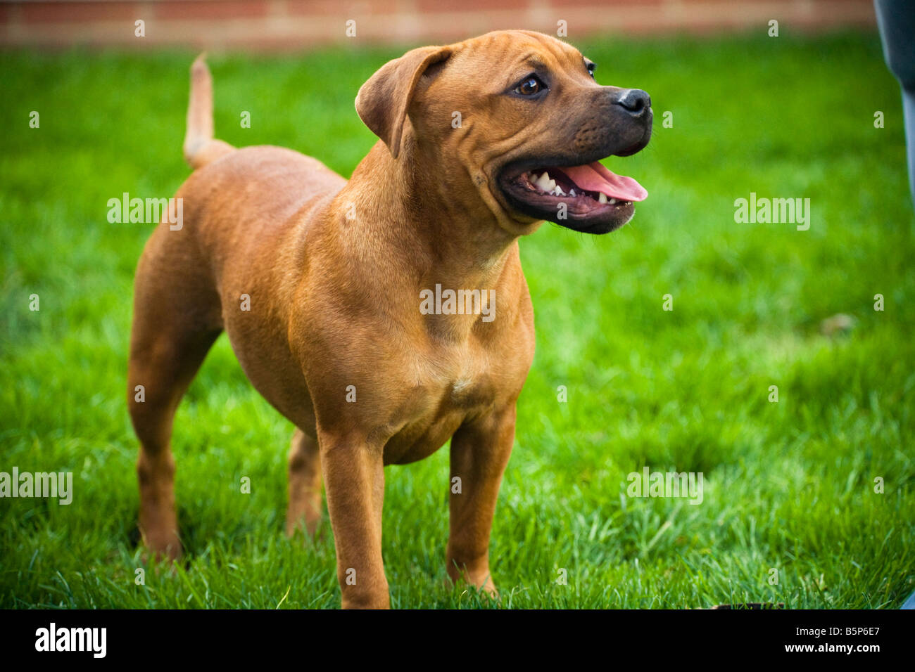 A proud Staffordshire Bull terrier posing on the lawn - Stock Image