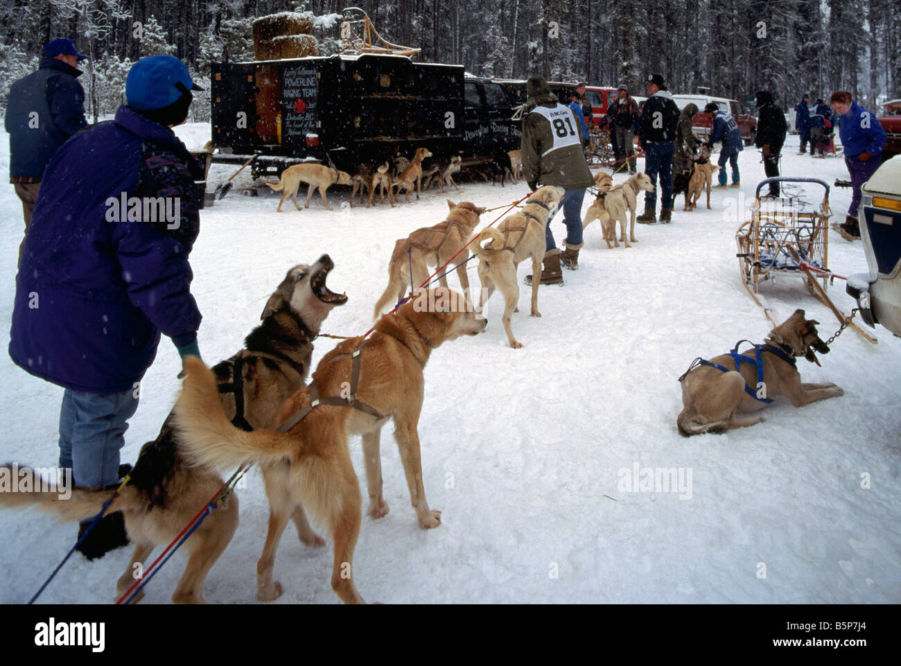 Sled Dog In Kennel Stock Photos Images Snow Hd Wiring Harness Preparing Dogs At The International Race Near Falkland Okanagan Region Of