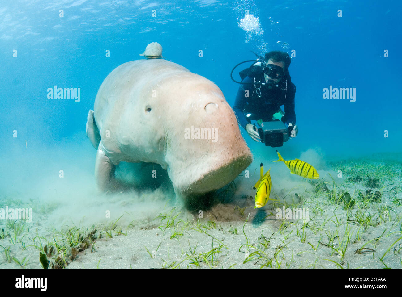 Dugong Sea Cow feeding on the sea grass Gnathanodon Speciosus Egypt Red Sea Indian Ocean - Stock Image