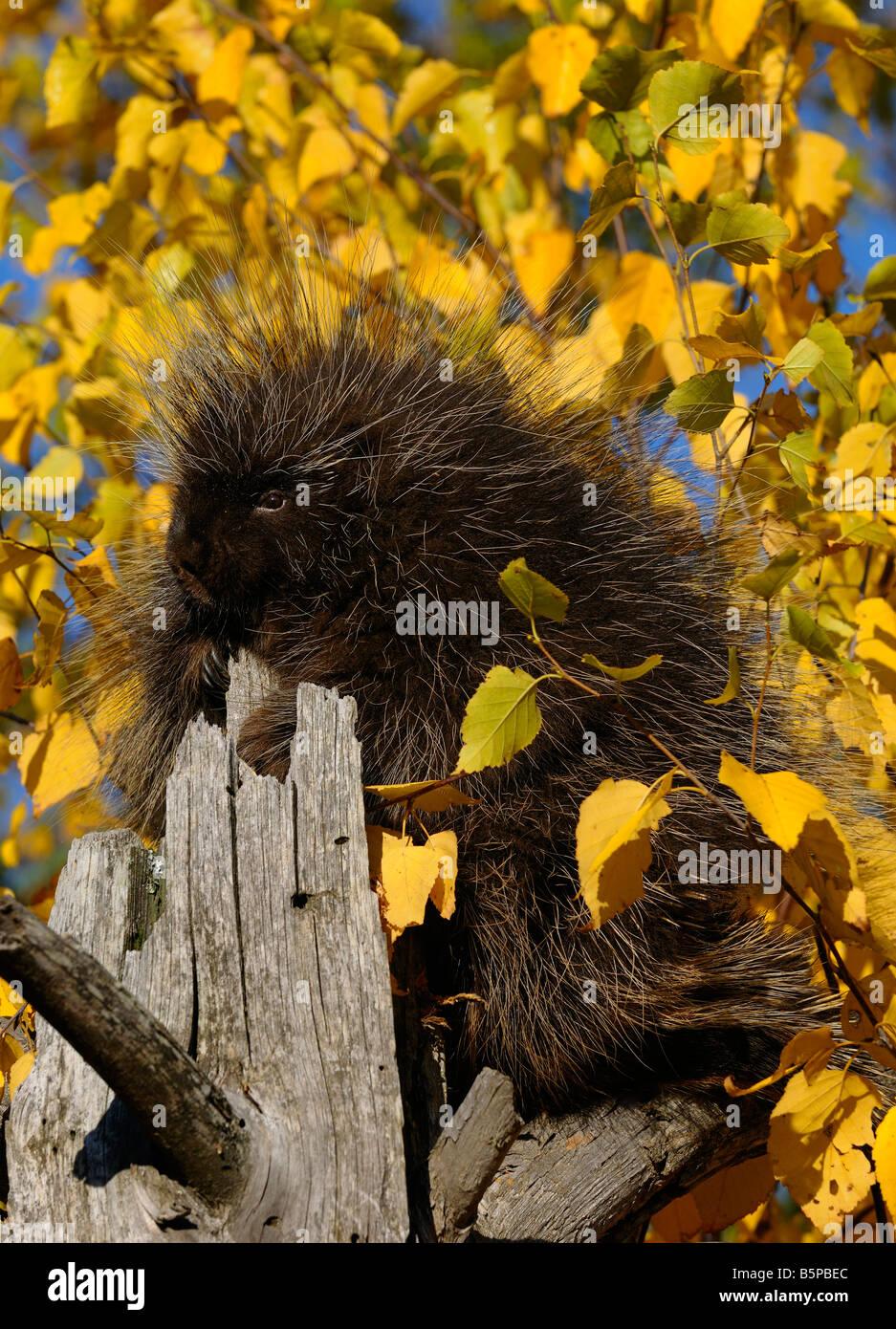 North American Porcupine on tree stump in full sun with yellow Birch leaves in Autumn Erethizon Dorsatum Minnesota Stock Photo