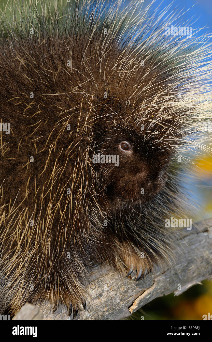 Close up of a Porcupine face quills and claws on a dead tree in Autumn - Stock Image