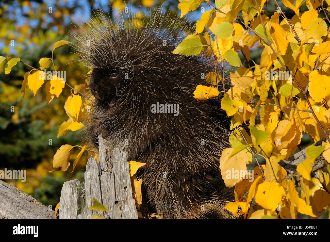 Side view of Porcupine climbing a dead tree with yellow Birch leaves and evergreens in Autumn Erethizon Dorsatum - Stock Image