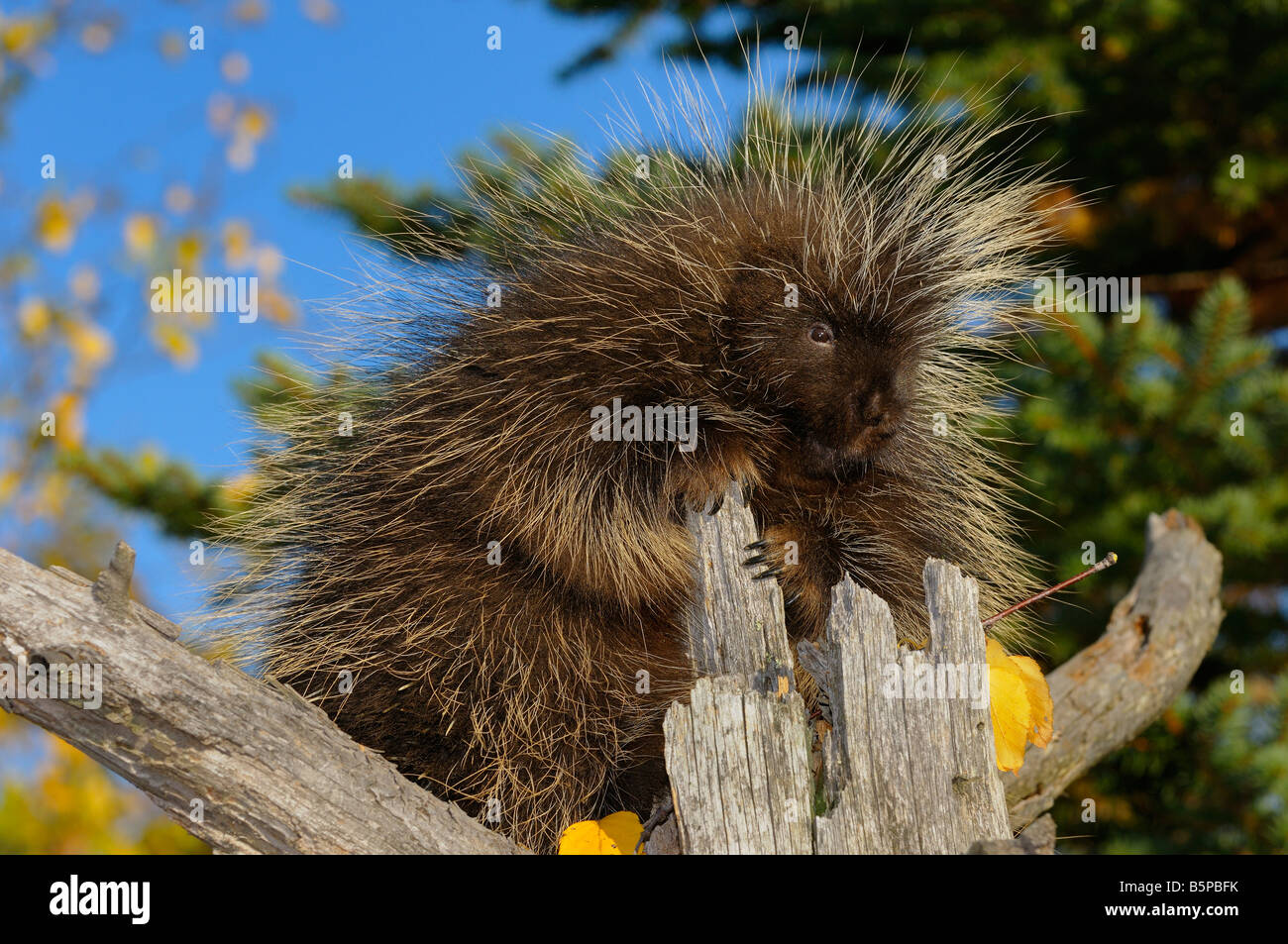 North American Porcupine holding on to a dead tree stump in an open forest in the Fall Erethizon Dorsatum Minnesota Stock Photo