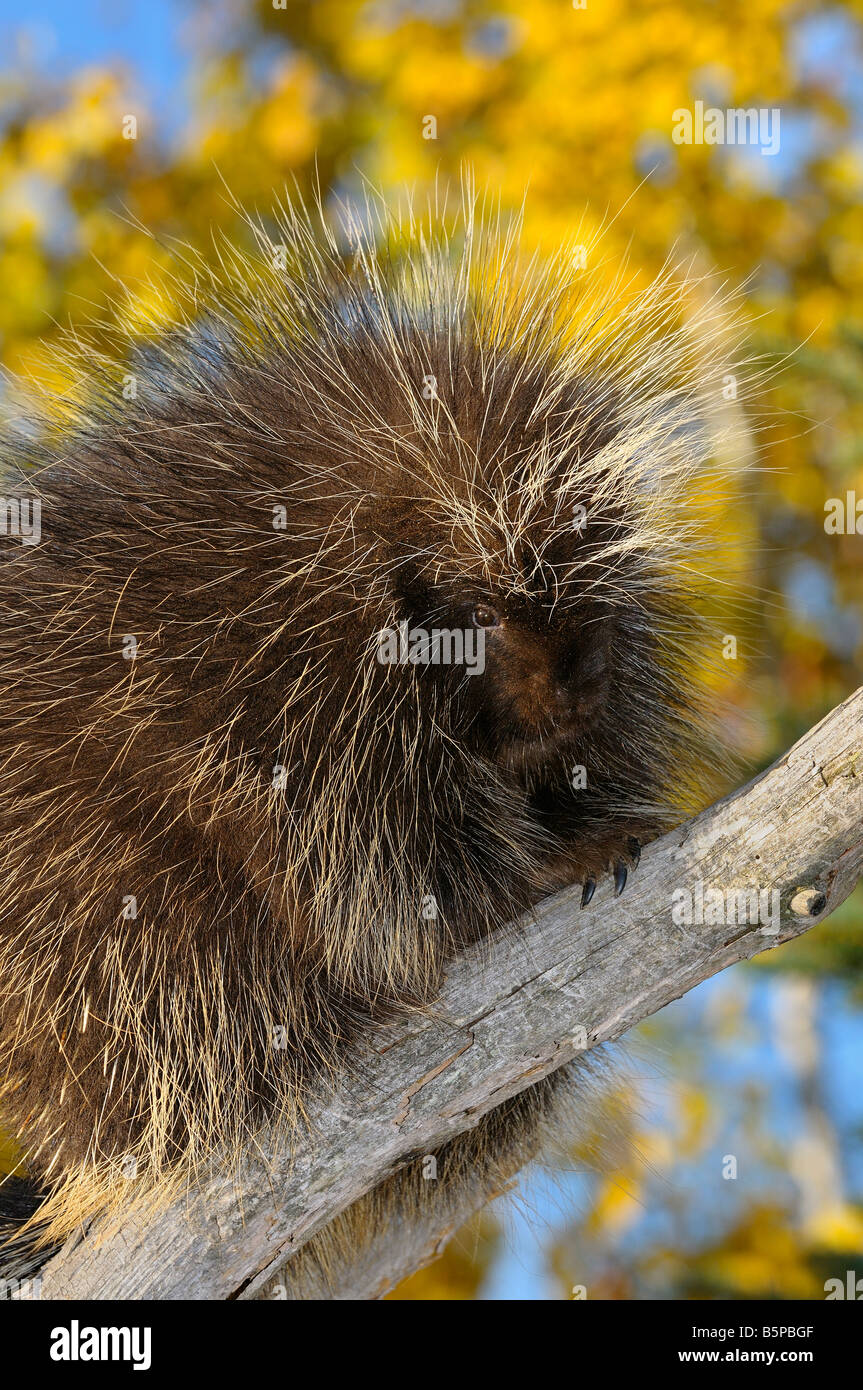 North American Porcupine on a dead tree limb with yellow birch leaves in the Fall - Stock Image