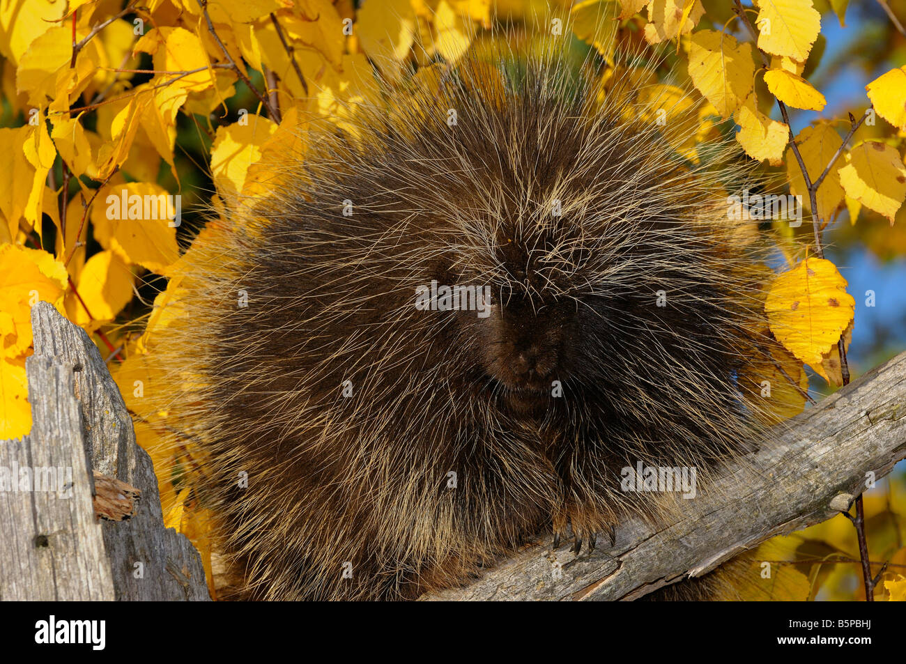 North American Porcupine on a dead tree stump with yellow birch leaves in the Fall - Stock Image