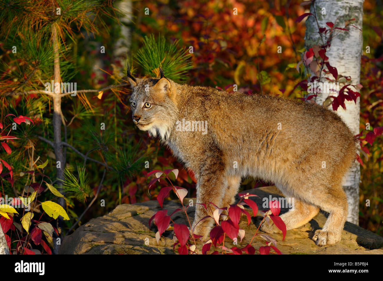 Canadian Lynx standing on a rock in a colorful birch forest in Autumn at sunrise - Stock Image