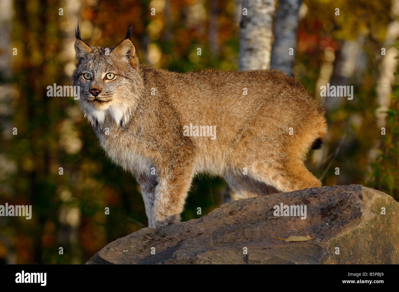 Staring Canadian Lynx standing on a rock in a birch forest in Autumn at sunrise - Stock Image