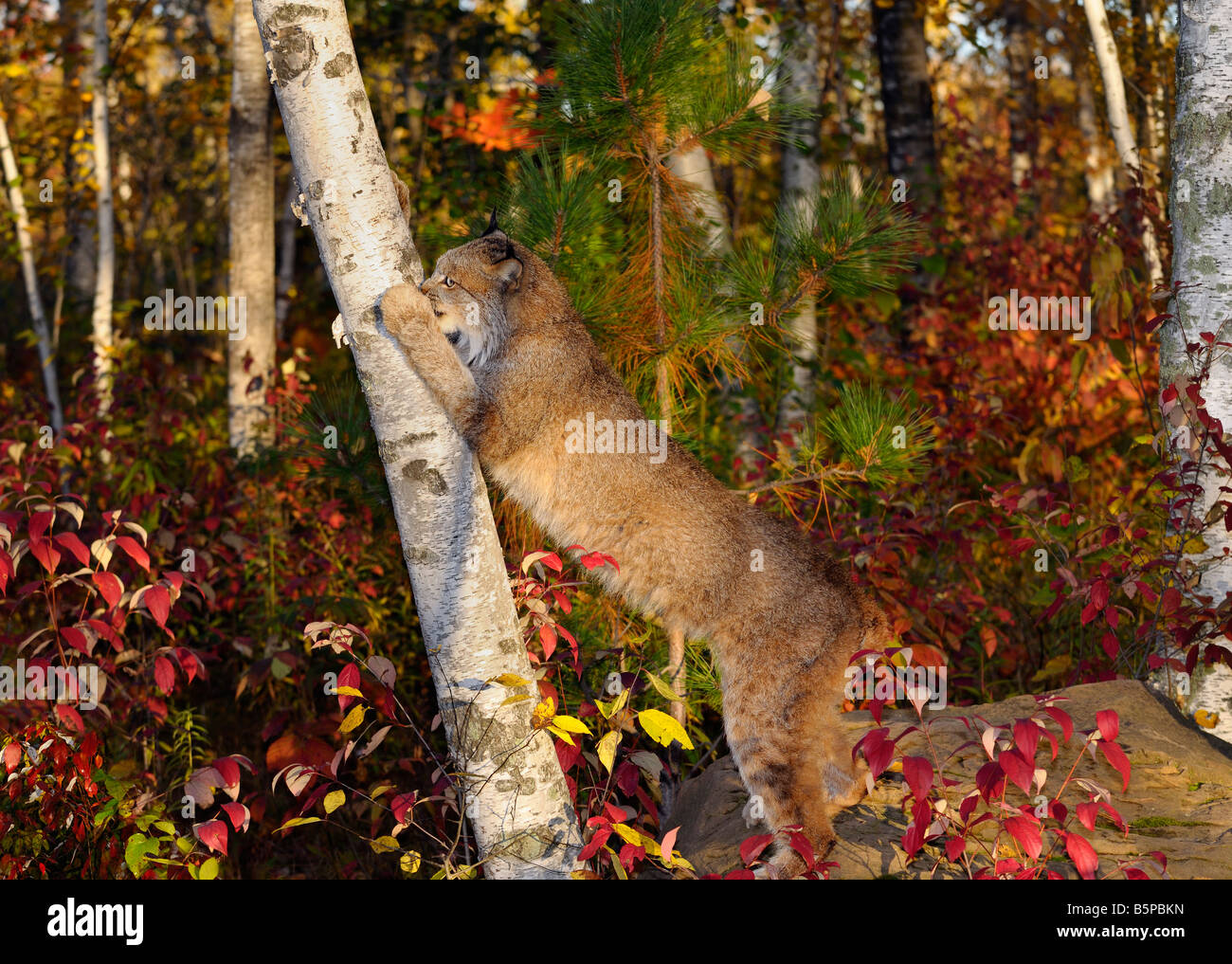 Canadian Lynx on hind feet sharpening claws by scratching a Birch tree in an Autumn forest - Stock Image