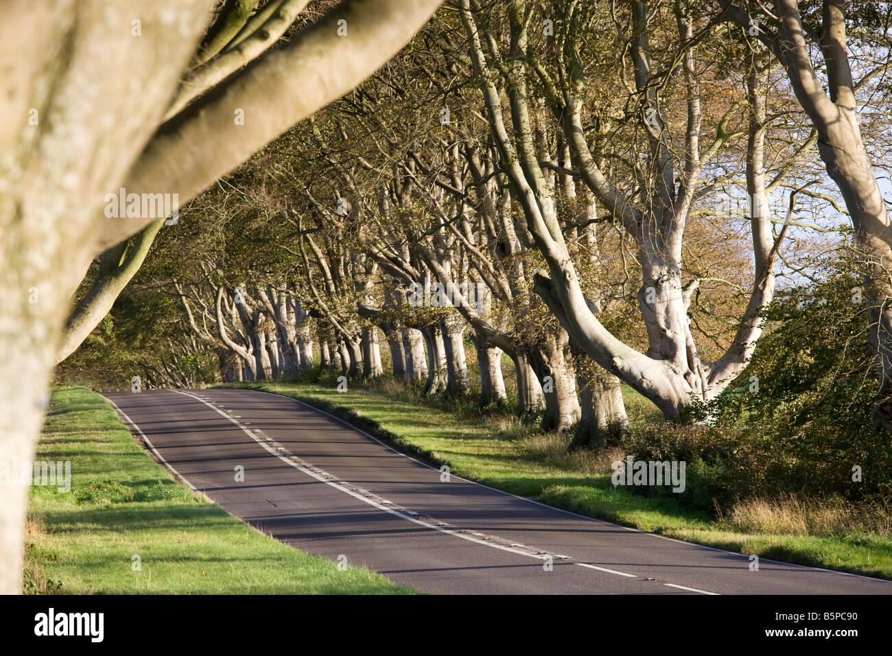 Avenue of Beech Trees at Milestone on the Wimborne to Blandford Road, Dorset, England, UK - Stock Image