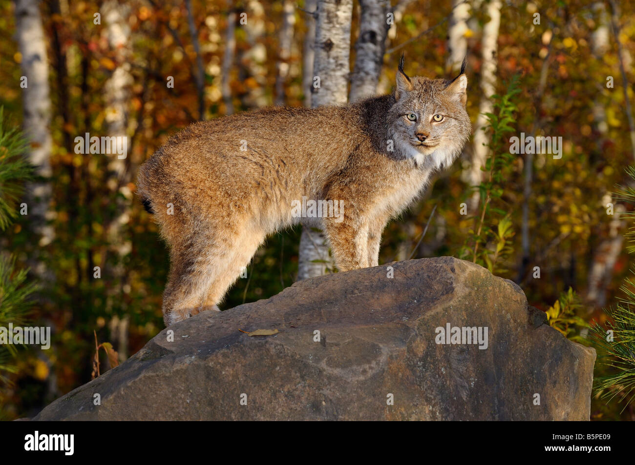 Canadian Lynx standing on a rock in a birch forest in Autumn at sunrise - Stock Image