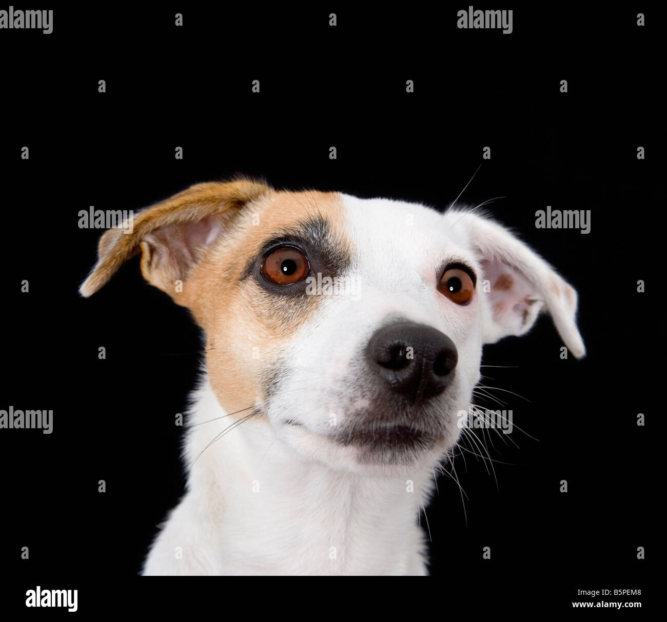 Jack Russell dog close up - Stock Image