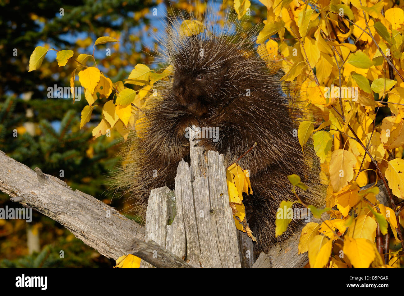 North American Porcupine climbing a dead tree with yellow Birch leaves and evergreens in Autumn Erethizon Dorsatum - Stock Image