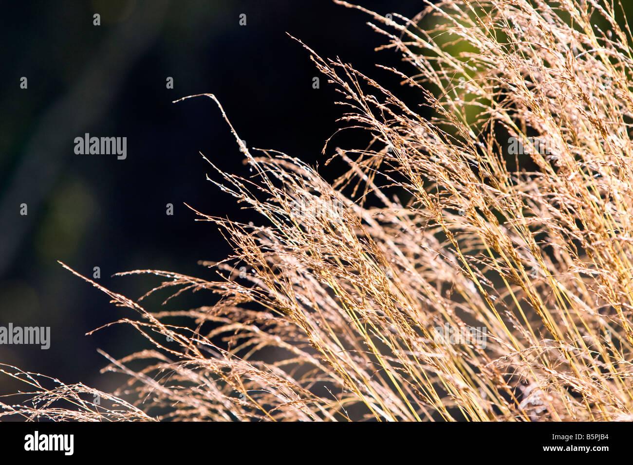 Deschampsia cespitosa goldschleier, tussock grass - Stock Image