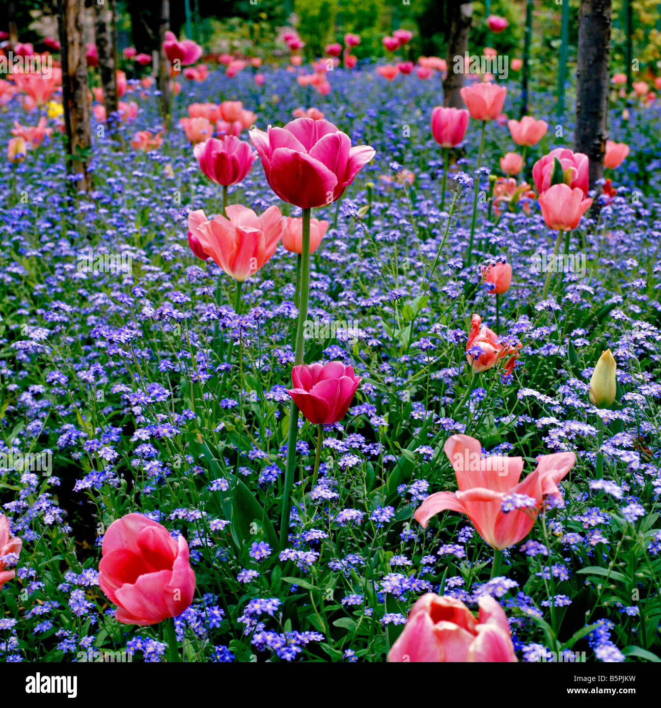 Tulips and Forget me not\'s at Monet\'s Garden at Giverny Stock Photo ...