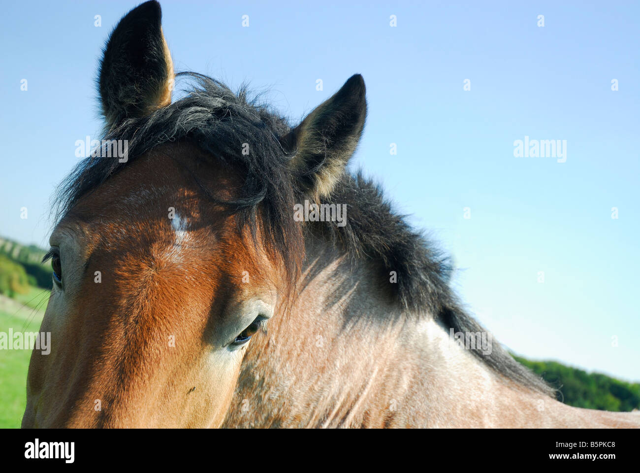 A brown draft horse portrait- Lorraine France - Stock Image