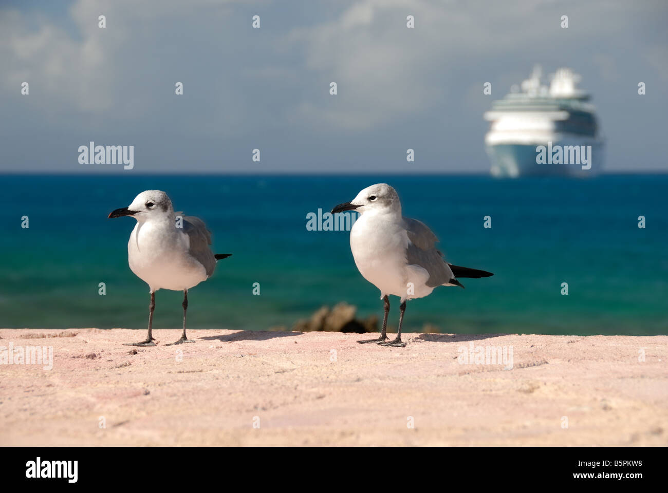 Two seagulls are in the foreground of The Royal Caribbean ship Majesty of the Seas, tendered at Little Stirrup Cay, - Stock Image