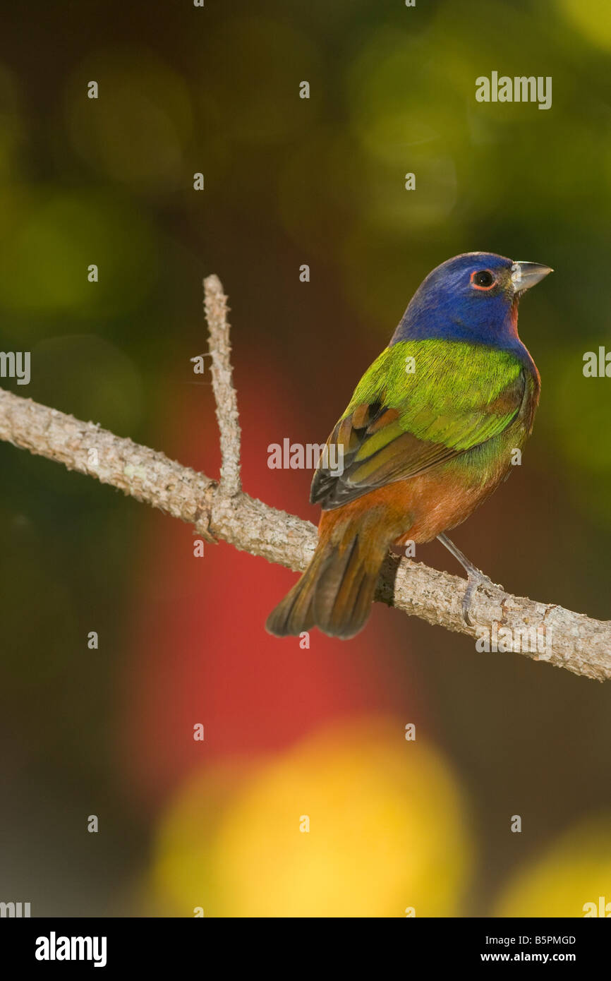 Painted bunting (Passerina ciris) rests on a pine branch with a colorful background. - Stock Image